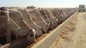 curso de confinamento de bovinos